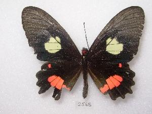 (Parides anchises - MACN-Bar-Lep-ct 02565)  @12 [ ] Copyright (2011) MACN Museo Argentino de Ciencias Naturales