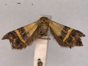 (Nemophora decisella - RMNH.INS.27463)  @14 [ ] Unspecified (default): All Rights Reserved  Unspecified Unspecified