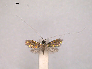 (Nemophora micrometalla - RMNH.INS.27465)  @14 [ ] Unspecified (default): All Rights Reserved  Unspecified Unspecified