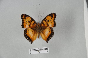 (Junonia cuama - LepMala294)  @11 [ ] by-nc-sa - Creative Commons - Attribution Non-Comm Share-Alike (2015) NTNU University Museum, Department of Natural History NTNU University Museum, Department of Natural History