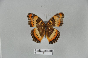 (Junonia ceryne - LepMala297)  @11 [ ] CreativeCommons - Attribution Non-Commercial Share-Alike (2015) NTNU University Museum, Department of Natural History NTNU University Museum, Department of Natural History