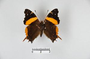 (Antanartia - LepMala304)  @15 [ ] by-nc-sa - Creative Commons - Attribution Non-Comm Share-Alike (2015) NTNU University Museum, Department of Natural History NTNU University Museum, Department of Natural History