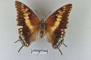 (Charaxes achaemenes - LepMala355)  @14 [ ] CreativeCommons - Attribution Non-Commercial Share-Alike (2015) NTNU University Museum, Department of Natural History NTNU University Museum, Department of Natural History
