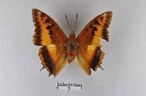 (Charaxes druceanus - LepMala366)  @11 [ ] by-nc-sa - Creative Commons - Attribution Non-Comm Share-Alike (2015) NTNU University Museum, Department of Natural History NTNU University Museum, Department of Natural History