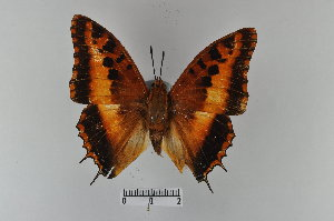 (Charaxes druceanus - LepMala368)  @11 [ ] by-nc-sa - Creative Commons - Attribution Non-Comm Share-Alike (2015) NTNU University Museum, Department of Natural History NTNU University Museum, Department of Natural History