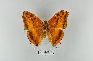(Charaxes macclounii - LepMala380)  @14 [ ] CreativeCommons - Attribution Non-Commercial Share-Alike (2015) NTNU University Museum, Department of Natural History NTNU University Museum, Department of Natural History