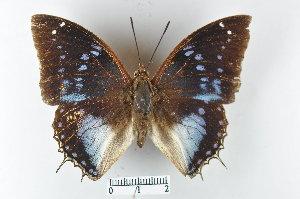 (Charaxes cithaeron - LepMala395)  @14 [ ] by-nc-sa - Creative Commons - Attribution Non-Comm Share-Alike (2015) NTNU University Museum, Department of Natural History NTNU University Museum, Department of Natural History
