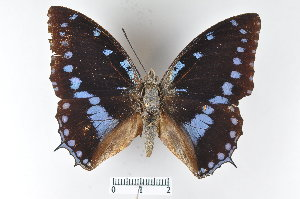 ( - LepMala404)  @11 [ ] by-nc-sa - Creative Commons - Attribution Non-Comm Share-Alike (2015) NTNU University Museum, Department of Natural History NTNU University Museum, Department of Natural History