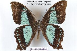 (Papilio desmondi - LepMala107)  @11 [ ] CreativeCommons - Attribution Non-Commercial Share-Alike (2015) NTNU University Museum, Department of Natural History NTNU University Museum, Department of Natural History