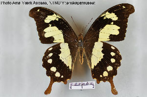 (Papilio pelodorus - LepMala108)  @11 [ ] by-nc-sa - Creative Commons - Attribution Non-Comm Share-Alike (2015) NTNU University Museum, Department of Natural History NTNU University Museum, Department of Natural History