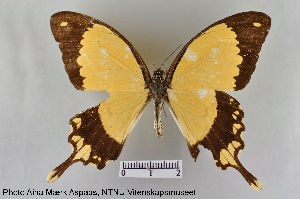 (Papilio dardanus - LepMala116)  @11 [ ] by-nc-sa - Creative Commons - Attribution Non-Comm Share-Alike (2015) NTNU University Museum, Department of Natural History NTNU University Museum, Department of Natural History