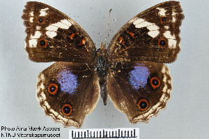 (Junonia oenone - LepMala258)  @15 [ ] by-nc-sa - Creative Commons - Attribution Non-Comm Share-Alike (2015) NTNU University Museum, Department of Natural History NTNU University Museum, Department of Natural History