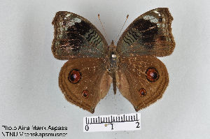 (Junonia artaxia - LepMala264)  @15 [ ] by-nc-sa - Creative Commons - Attribution Non-Comm Share-Alike (2015) NTNU University Museum, Department of Natural History NTNU University Museum, Department of Natural History