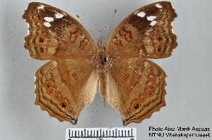 (Junonia natalica - LepMala267)  @15 [ ] by-nc-sa - Creative Commons - Attribution Non-Comm Share-Alike (2015) NTNU University Museum, Department of Natural History NTNU University Museum, Department of Natural History