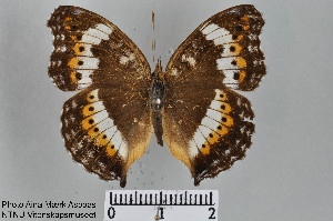 (Junonia actia - LepMala286)  @11 [ ] Creative Commons – Attribution Non-Commercial Share-Alike (2015) NTNU University Museum, Department of Natural History NTNU University Museum, Department of Natural History