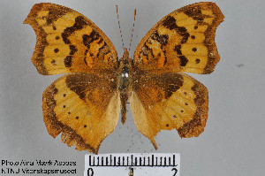 (Junonia antilope - LepMala290)  @11 [ ] by-nc-sa - Creative Commons - Attribution Non-Comm Share-Alike (2015) NTNU University Museum, Department of Natural History NTNU University Museum, Department of Natural History