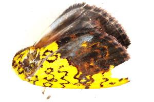 (Siglophora - BIOUG06676-B04)  @12 [ ] CreativeCommons - Attribution Non-Commercial Share-Alike (2014) BIO Photography Group Biodiversity Institute of Ontario