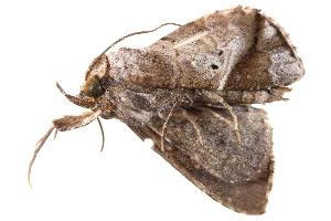 (Hiaspis - BIOUG09047-B03)  @13 [ ] CreativeCommons - Attribution Non-Commercial Share-Alike (2014) BIO Photography Group Biodiversity Institute of Ontario