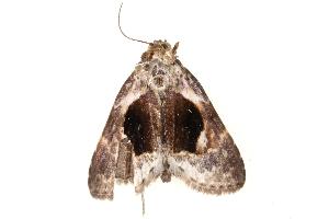 (Meekistrotia - BIOUG09047-G08)  @13 [ ] CreativeCommons - Attribution Non-Commercial Share-Alike (2014) BIO Photography Group Biodiversity Institute of Ontario