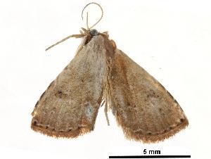 (Anacrostis - BIOUG12334-G06)  @14 [ ] CreativeCommons - Attribution Non-Commercial Share-Alike (2014) BIO Photography Group Biodiversity Institute of Ontario
