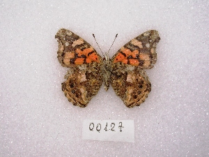 ( - MACN-Bar-Lep-ct 00127)  @13 [ ] Copyright (2011) MACN Museo Argentino de Ciencias Naturales
