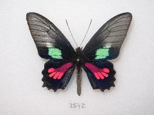 "(Parides neophilus - MACN-Bar-Lep-ct 02572)  @14 [ ] Copyright (2011) MACN Museo Argentino de Ciencias Naturales ""Bernardino Rivadavia"""