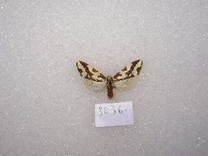 (Tessellota - MACN-Bar-Lep-ct 03036)  @13 [ ] Copyright (2011) MACN Museo Argentino de Ciencias Naturales