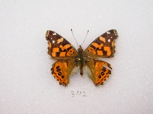 (Vanessa carye - MACN-Bar-Lep-ct 03112)  @13 [ ] Copyright (2011) MACN Museo Argentino de Ciencias Naturales