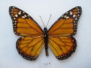 ( - MACN-Bar-Lep-ct 03119)  @11 [ ] Copyright (2012) MACN Museo Argentino de Ciencias Naturales