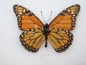 ( - MACN-Bar-Lep-ct 03137)  @14 [ ] Copyright (2012) MACN Museo Argentino de Ciencias Naturales