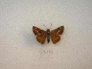 ( - MACN-Bar-Lep-ct 03142)  @14 [ ] Copyright (2012) MACN Museo Argentino de Ciencias Naturales