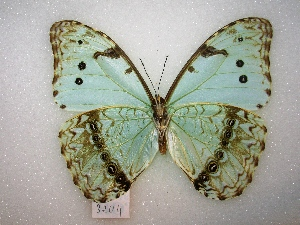 (Morpho epistrophus - MACN-Bar-Lep-ct 03204)  @14 [ ] Copyright (2012) MACN Museo Argentino de Ciencias Naturales