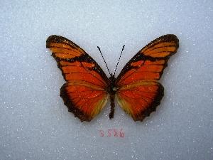 "(Dione juno - MACN-Bar-Lep-ct 03586)  @14 [ ] Copyright (2011) MACN Museo Argentino de Ciencias Naturales ""Bernardino Rivadavia"""