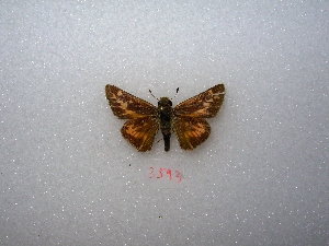 "( - MACN-Bar-Lep-ct 03593)  @13 [ ] Copyright (2011) MACN Museo Argentino de Ciencias Naturales ""Bernardino Rivadavia"""