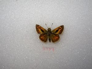 "( - MACN-Bar-Lep-ct 03707)  @13 [ ] Copyright (2011) MACN Museo Argentino de Ciencias Naturales ""Bernardino Rivadavia"""