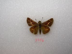 "( - MACN-Bar-Lep-ct 03716)  @13 [ ] Copyright (2011) MACN Museo Argentino de Ciencias Naturales ""Bernardino Rivadavia"""