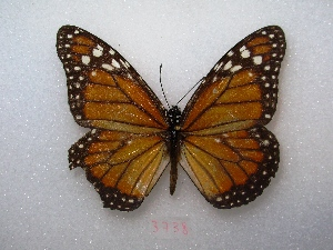"( - MACN-Bar-Lep-ct 03738)  @12 [ ] Copyright (2011) MACN Museo Argentino de Ciencias Naturales ""Bernardino Rivadavia"""