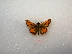 "( - MACN-Bar-Lep-ct 03782)  @13 [ ] Copyright (2011) MACN Museo Argentino de Ciencias Naturales ""Bernardino Rivadavia"""