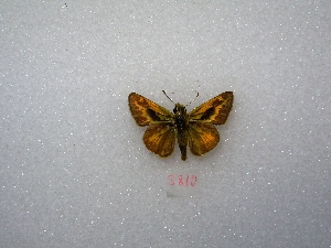 "( - MACN-Bar-Lep-ct 03810)  @12 [ ] Copyright (2011) MACN Museo Argentino de Ciencias Naturales ""Bernardino Rivadavia"""