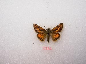 "( - MACN-Bar-Lep-ct 03882)  @12 [ ] Copyright (2011) MACN Museo Argentino de Ciencias Naturales ""Bernardino Rivadavia"""