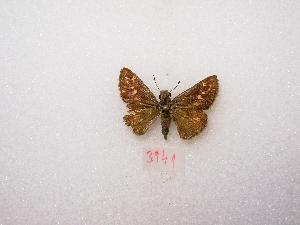 "( - MACN-Bar-Lep-ct 03941)  @12 [ ] Copyright (2011) MACN Museo Argentino de Ciencias Naturales ""Bernardino Rivadavia"""