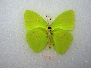 "( - MACN-Bar-Lep-ct 03945)  @14 [ ] Copyright (2011) MACN Museo Argentino de Ciencias Naturales ""Bernardino Rivadavia"""