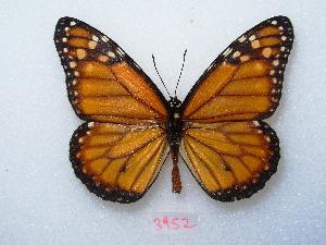 "( - MACN-Bar-Lep-ct 03952)  @13 [ ] Copyright (2011) MACN Museo Argentino de Ciencias Naturales ""Bernardino Rivadavia"""