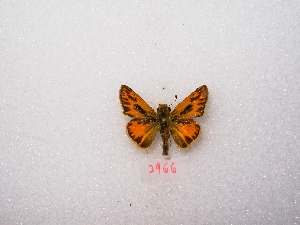 "( - MACN-Bar-Lep-ct 03966)  @12 [ ] Copyright (2011) MACN Museo Argentino de Ciencias Naturales ""Bernardino Rivadavia"""