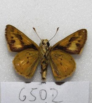 "( - MACN-Bar-Lep-ct 06502)  @11 [ ] Copyright (2014) MACN Museo Argentino de Ciencias Naturales ""Bernardino Rivadavia"""