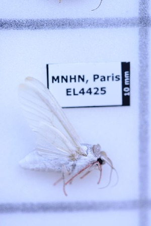 (Aphyarctia - EL4425)  @11 [ ] Creative Commons (2015) Rodolphe Rougerie Muséum national d'Histoire Naturelle, Paris