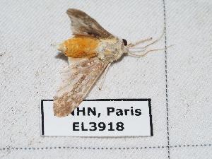 (Astralarctia - EL3918)  @11 [ ] Creative Commons (2015) Rodolphe Rougerie Muséum national d'Histoire Naturelle, Paris