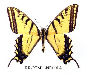 (Papilio multicaudatus - RR-PTMU-ND001)  @14 [ ] Unspecified (default): All Rights Reserved  Unspecified Unspecified