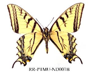(Papilio multicaudata - RR-PTMU-ND001)  @14 [ ] Unspecified (default): All Rights Reserved  Unspecified Unspecified