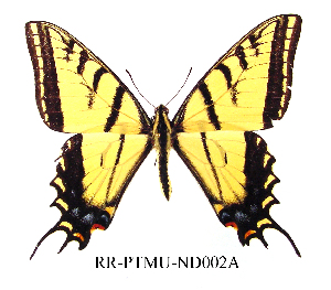 (Papilio multicaudata - RR-PTMU-ND002)  @14 [ ] Unspecified (default): All Rights Reserved  Unspecified Unspecified
